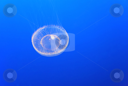 Jellyfish stock photo, A jellyfish on a blue submarine background by Ivan Paunovic