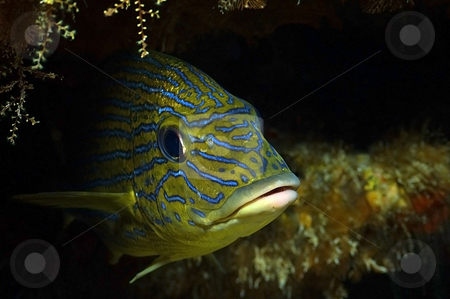 French Grunt stock photo, Shot in Cozumel, Mexico by Greg Amptman