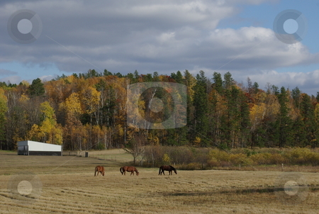 Quarter horses grazing stock photo, Three quarter horses graze in a field below a ridge line of trees dressed in colorful fall foliage. by Dennis Thomsen