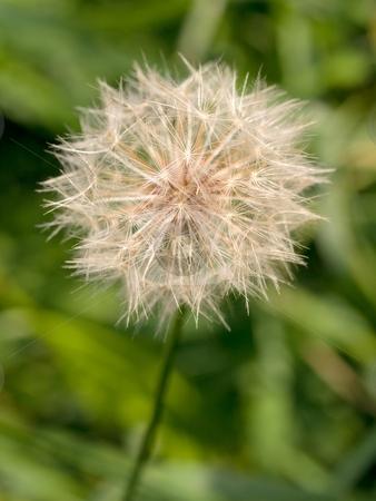 Dandelion macro stock photo, Macro of a dandelion on green background by Laurent Dambies
