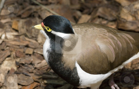 Banded Lapwing stock photo, A banded lapwing near the edge of a pond. by Mike Dawson