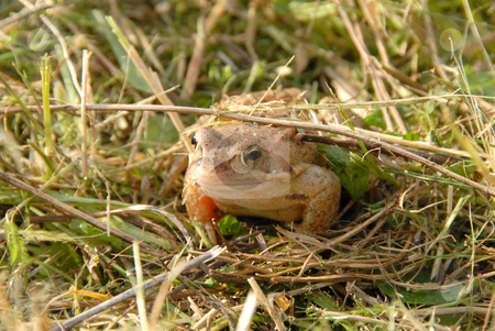 Frog stock photo, Toad or frog resting in green grass near lakeside by Joanna Szycik