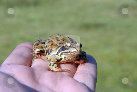 Toad stock photo, A tiny toad found in a garden sits in my hand by Joanna Szycik