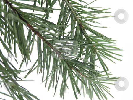 Pine branch stock photo, Pine branch on white background by John Teeter