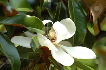 White magnolia bloom stock photo, A large white magnolia bloom seen up close by Tim Markley