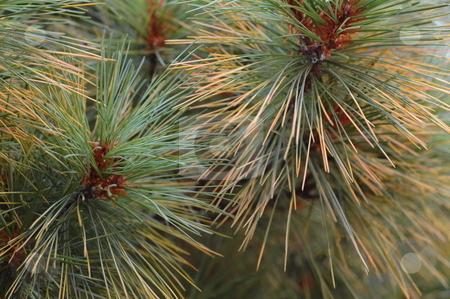 Pine Needles stock photo,  by Richard Sheehan