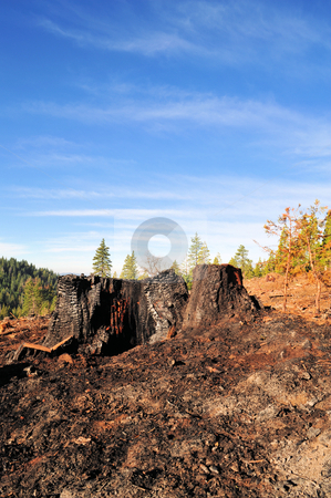 Burnt Tree Stump stock photo, Clear blue sky, tree stump and ashes after a forest fire by Lynn Bendickson