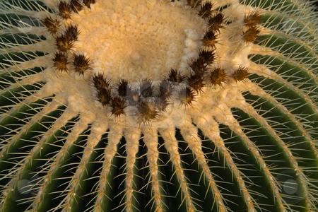 Goldkugelkaktus, Echinocactus grusonii stock photo, Der Goldkugelkaktus (Echinocactus grusonii) ist eine Pflanzenart in der Gattung Echinocactus aus der Familie der Kakteengew?chse (Cactaceae). Die Art wird h?ufig auch als Schwiegermutterstuhl oder -sitz bezeichnet. by Wolfgang Heidasch