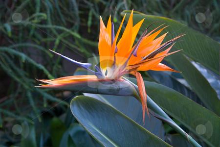Paradiesvogelblume, Strelizien stock photo, Die Pflanzengattung Strelitzia geh?rt zur Familie der Strelitziengew?chse (Strelitziaceae). by Wolfgang Heidasch