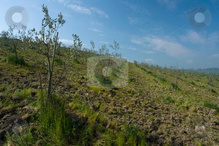 Olivenanpflanzung in der Toskana stock photo, Olivenanpflanzung in der Toskana by Wolfgang Heidasch