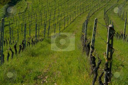 Weinst?cke in derToskana stock photo, Weinst?cke in derToskana by Wolfgang Heidasch