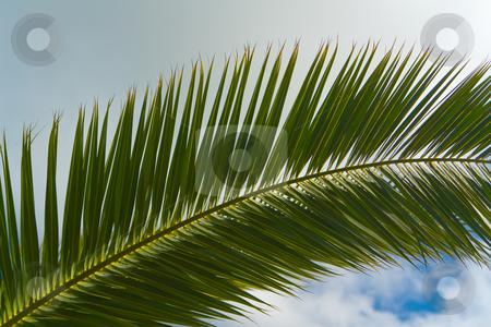 Blatt einer echten Dattelpalme (Phoenix dactylifera) - Leaf of a Date Palm stock photo, Die Echte Dattelpalme (Phoenix dactylifera) ist eine Pflanzenart der Gattung Dattelpalmen (Phoenix) in der Familie der Palmengew?chse (Arecaceae). - The Date Palm (Phoenix dactylifera) is a palm in the genus Phoenix, extensively cultivated for its edible fruit. by Wolfgang Heidasch