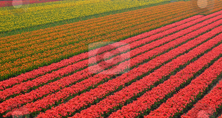 Row of multicolored flowers in field stock photo,  by Wolfgang Heidasch