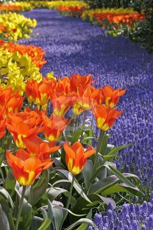 Tulipa 'World Legend' Darwin-Hybrid-Tulip stock photo, Tulipa 'World Legend' Darwin-Hybrid-Tulip by Lothar Hinz
