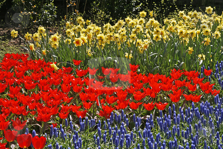 Tulip flower bed with Hyacinths Muscari and Narcissus stock photo, Tulip flower bed with Hyacinths (Muscari) and Narcissus by Lothar Hinz