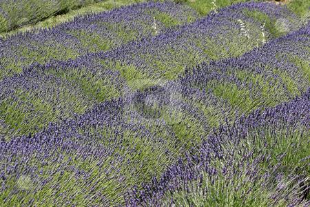 Lavender field near Rustrel, Provence stock photo, Lavender field near Rustrel, Luberon, Provence, Southern France by Lothar Hinz