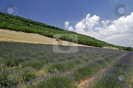 Lavender field near Sault, Luberon, Provence, Southern France stock photo, Lavender field near Sault, Luberon, Provence, Southern France by Lothar Hinz