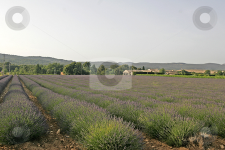 Lavender field near Murs, Luberon, Provence, Southern France stock photo, Lavender field near Murs, Luberon, Provence, Southern France by Lothar Hinz