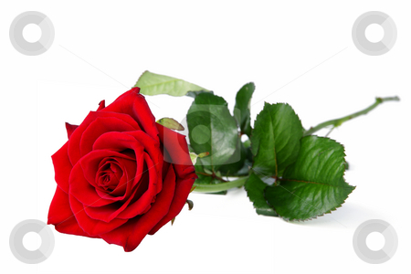 Lonely red rose stock photo, Lonely red fresh rose on white background by Marek Kosmal