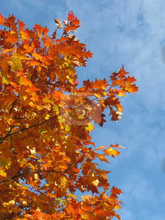 Colorful orange fall season leaves. stock photo, Colorful orange fall season leaves. by Stephen Rees