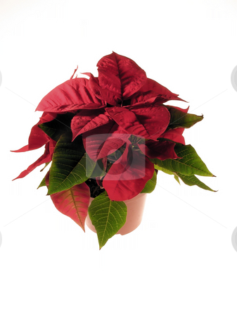 Poinsettia stock photo, Decoration christmas flower by Marek Kosmal