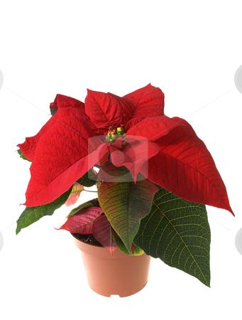 Christmas decoration poinsettia stock photo, Christmas decoration flower isolated by Marek Kosmal