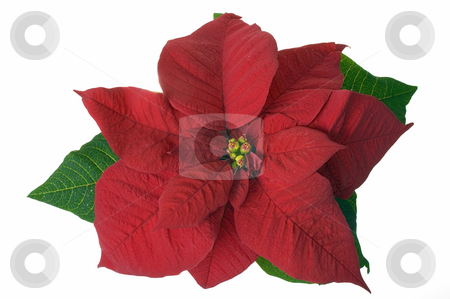 Christmas decoration poinsettia stock photo, Christmas decoration flower isolated by Marek Kosmal