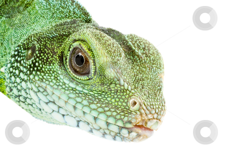 Physignathus cocincinus  stock photo, Head and facel of an adult agama Physignathus cocincinus by Petr Koudelka