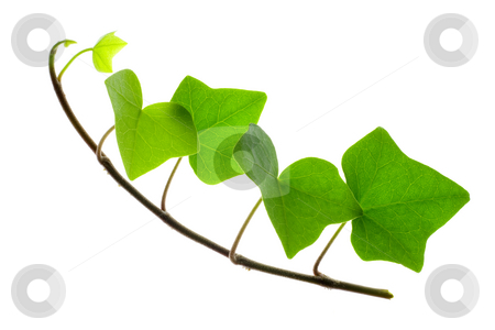 Sprig of Ivy stock photo, Detail of a sprig of ivy over white by Petr Koudelka