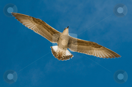 Seagull on the sky. stock photo, Seagull on the sky. Portugal, Algarve. by Dariusz Majgier