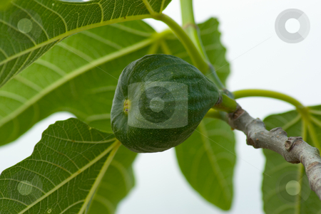 Echte Feige (Ficus carica) - Common fig (Ficus carica) stock photo, Die Echte Feige (Ficus carica) ist ein mittelgro?er Baum oder Strauch aus der Gattung der Feigen (Ficus). Sie z?hlt zu den ?ltesten domestizierten Nutzpflanzen und wird im gesamten Mittelmeergebiet angebaut. - The Common fig (Ficus carica) is a large, deciduous, shrub or small tree native to southwest Asia and the eastern Mediterranean region (Greece east to Afghanistan). by Wolfgang Heidasch