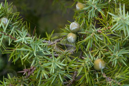 Zedern-Wacholder (J. oxycedrus) stock photo, Wacholder (Juniperus) ist eine Gattung in der Unterfamilie Cupressoideae aus der Familie der Zypressengew?chse (Cupressaceae). Mit den 50 bis 53 Arten, die dieser Gattung zugerechnet werden, stellt sie fast 40 Prozent der Arten innerhalb der Zypressengew?chse. Quelle: Wikipedia http://de.wikipedia.org/wiki/Wacholder by Wolfgang Heidasch