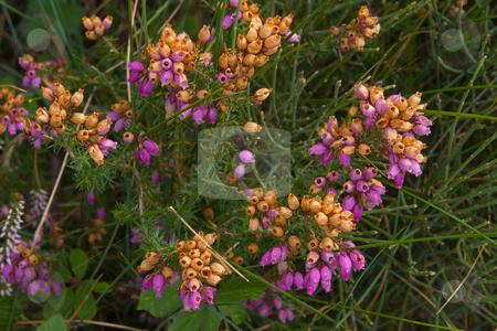 Graue Heide (Erica cinerea) stock photo, Die Graue Heide (Erica cinerea), auch Graue Glockenheide genannt, ist ein Heidekrautgew?chs. by Wolfgang Heidasch