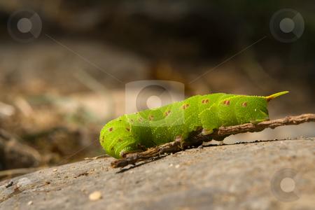Raupe des Pappelschw?rmers (Laothoe populi) stock photo, Der Pappelschw?rmer (Laothoe populi) ist ein Schmetterling (Nachtfalter) aus der Familie der Schw?rmer (Sphingidae). Quelle: Wikipedia http://de.wikipedia.org/wiki/Pappelschw%C3%A4rmer by Wolfgang Heidasch