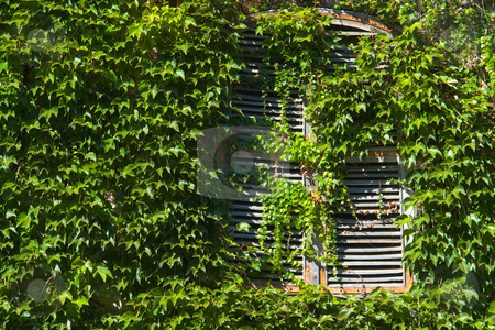 Fenster, zugewachsen mit Efeu stock photo, Fenster, zugewachsen mit Efeu by Wolfgang Heidasch