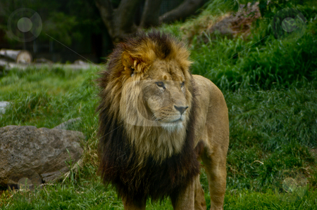 Male African Lion stock photo, Wide shot of a male African lion by Darren Lee