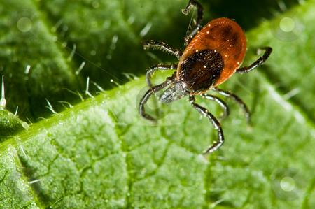 Tick on leaf. Ixodes ricinus. stock photo, Castor bean tick on the leaf. Ixodes ricinus. by Dariusz Majgier