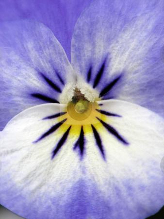 Viola-Hybrid, Pansy stock photo, Viola-Hybrid, Pansy by Lothar Hinz