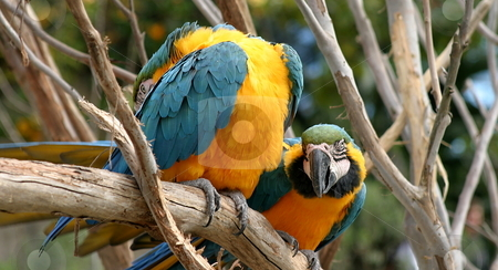 Blue And Gold Macaws stock photo, Colorful blue and gold macaws sitting on a tree. by Henrik Lehnerer
