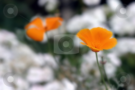 California Poppy stock photo, Orange California Poppy with white blurred flower in the background. by Henrik Lehnerer