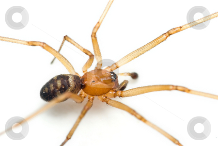 Cupboard spider stock photo, Steatoda grossa commonly known as the cupboard spider, the dark comb-footed spider, the brown house spider or the false black widow. by Dariusz Majgier