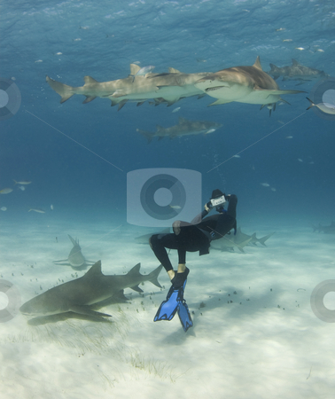 Anything for the Shot stock photo, A freediver bends over backwards to get a shot of Lemon Sharks (Negaprion brevirostris) circling overhead by A Cotton Photo