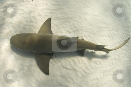 Lemon from Above stock photo, A lemon shark (Negaprion brevirostris) passes underneath along the ocean floor by A Cotton Photo