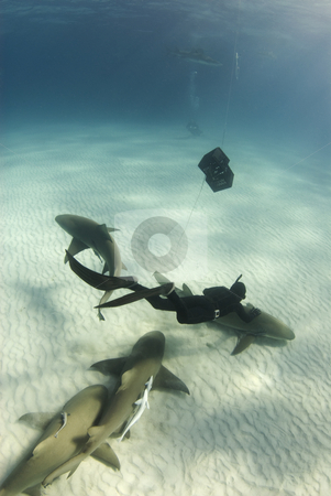 Lemon Shark Petting stock photo, A freediver swims down to pet a lemon shark (Negaprion brevirostris) swimming along the ocean floor by A Cotton Photo