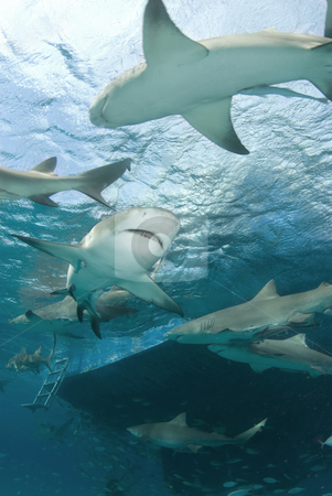 Lemon Sharks Behind Boat stock photo, Lemon Sharks (Negaprion brevirostris) circle behind a boat looking for food by A Cotton Photo