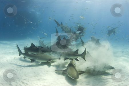 Shark Frenzy stock photo, A frenzy of sharks stir up the white bottom as they battle for their share of food by A Cotton Photo