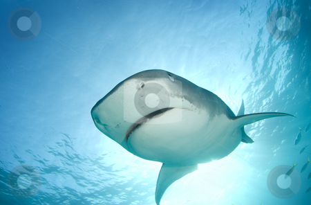 Tiger Shark from Above stock photo, A Tiger Shark (Galeocerdo cuvier) begins to cover her eyes as she descends towards the camera from above in line with the sun shining through the surface of the ocean. by A Cotton Photo