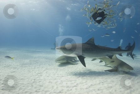 Tiger with Lemons and Baitfish stock photo, A tiger shark circles a school of bait fish feeding on bait while lemon sharks swim below by A Cotton Photo