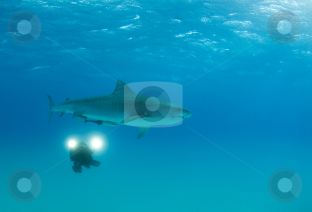 Videographer with Tiger Shark stock photo, A videographer records the movements of a cruising Tiger Shark (Galeocerdo cuvier) by A Cotton Photo