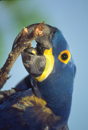 Hyacinth Maccaw Eating stock photo, A large Hyacinth Macaw is chewing on a stick. This is a large bird and is a deep blue in color. by Janie Mertz